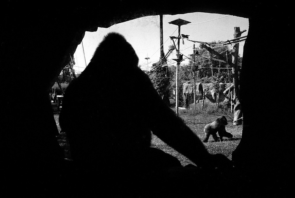 Lisabon Zoo, Gorillas